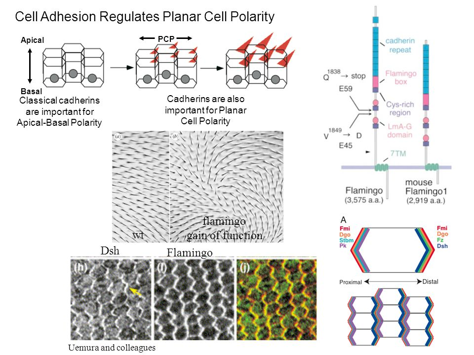 wt flamingo gain of function Uemura and colleagues Dsh Flamingo Apical Basal PCP Cell Adhesion Regulates Planar Cell Polarity Classical cadherins are