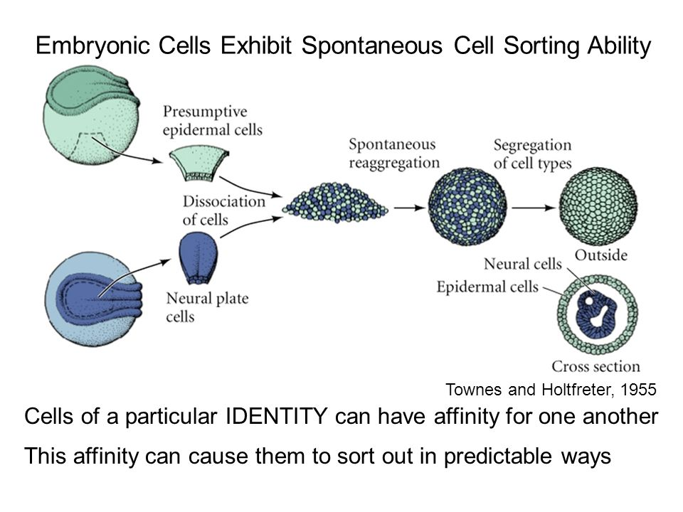 Embryonic Cells Exhibit Spontaneous Cell Sorting Ability Townes and Holtfreter, 1955 Cells of a particular IDENTITY can have affinity for one another