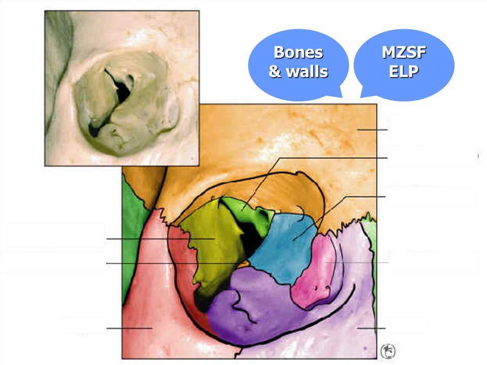 MZSFELP Bones & walls