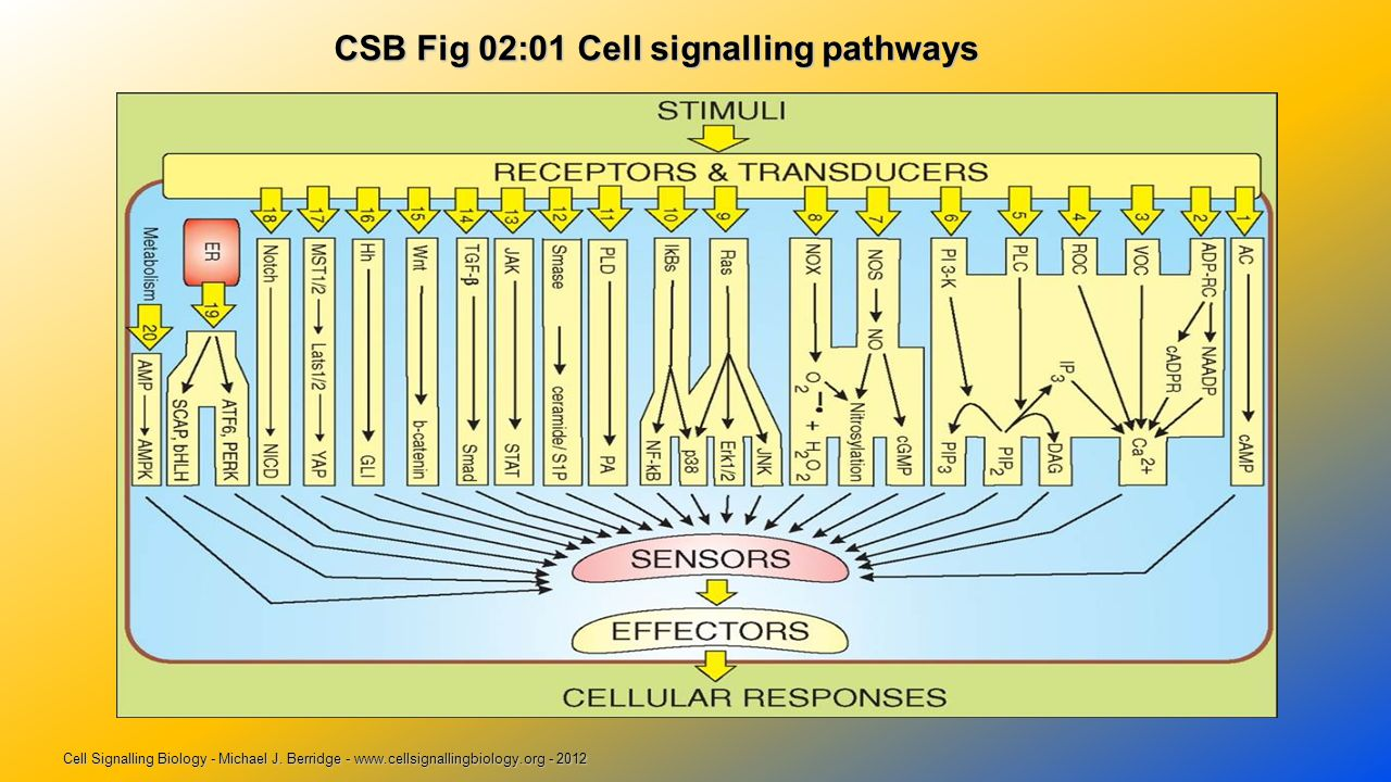 CSB Fig 02:01 Cell signalling pathways CSB Fig 02:01 Cell signalling pathways Cell Signalling Biology - Michael J.