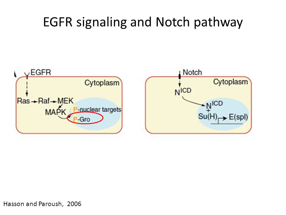 EGFR signaling and Notch pathway Hasson and Paroush, 2006