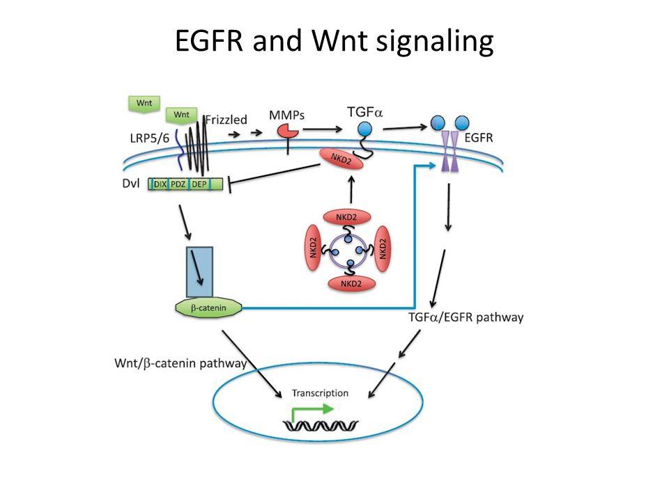 EGFR and Wnt signaling