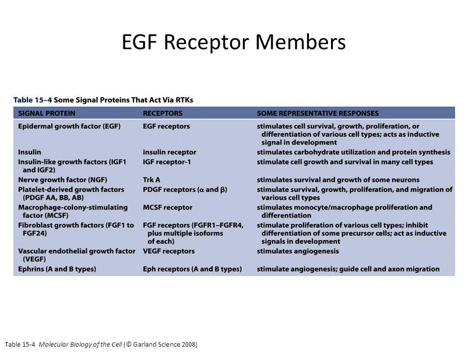 EGF Receptor Members EGF receptor members: Vertibrates: EGFR; ErbB2; ErbB3; ErbB4 C.