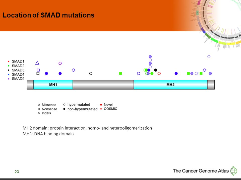 23 Location of SMAD mutations MH2 domain: protein interaction, homo- and heterooligomerization MH1: DNA binding domain