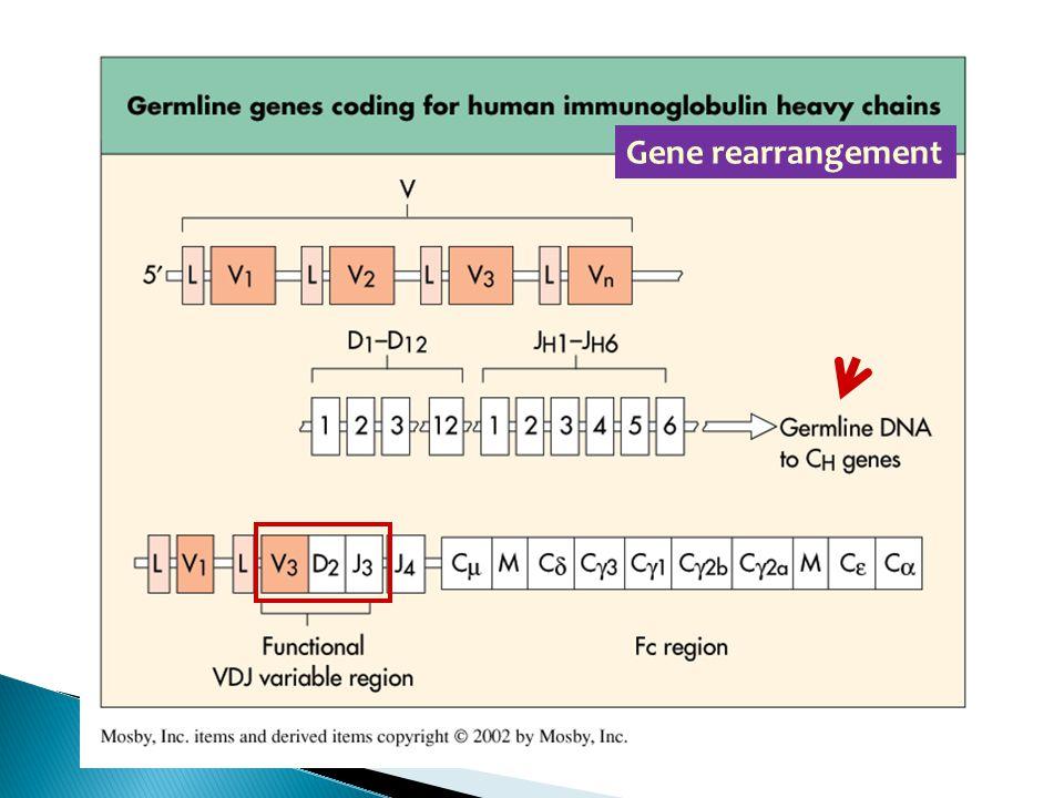 Gene rearrangement