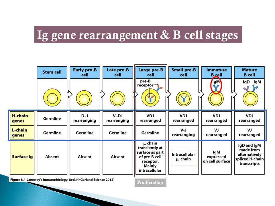Ig gene rearrangement & B cell stages Proliferation