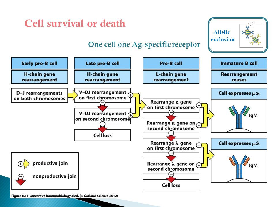 Cell survival or death Allelic exclusion One cell one Ag-specific receptor