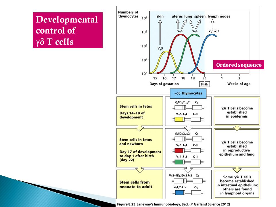 Developmental control of  T cells Ordered sequence