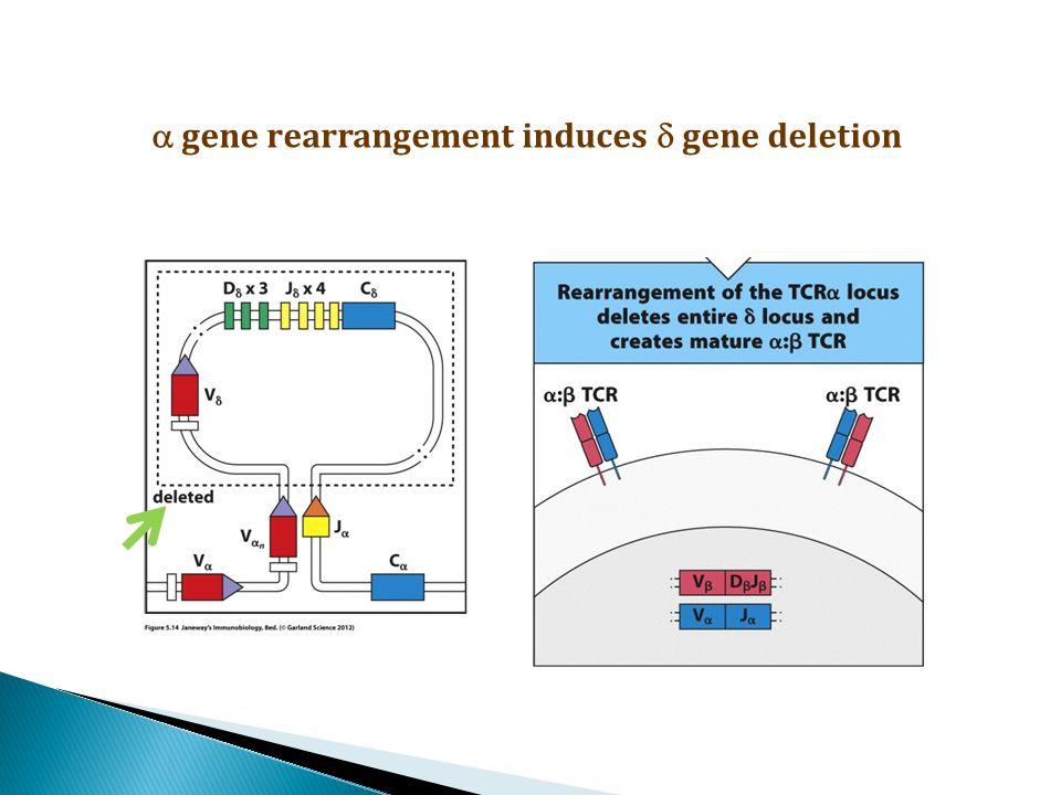  gene rearrangement induces  gene deletion