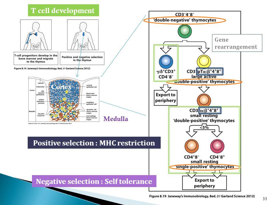 Cortex T cell development Gene rearrangement 33 Positive selection : MHC restriction Negative selection : Self tolerance Medulla