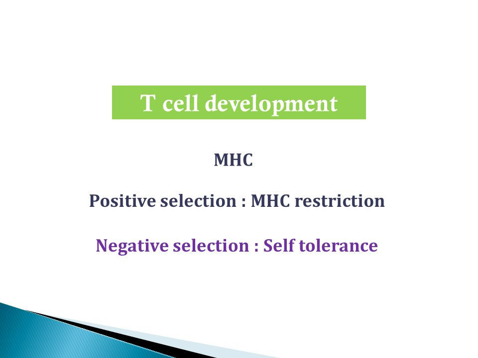 T cell development Positive selection : MHC restriction Negative selection : Self tolerance MHC