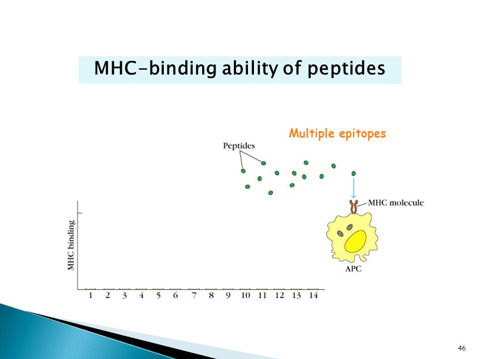 MHC-binding ability of peptides Multiple epitopes 46