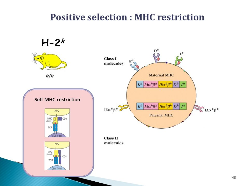 H-2 k 48 Self MHC restriction 3 2 Positive selection : MHC restriction