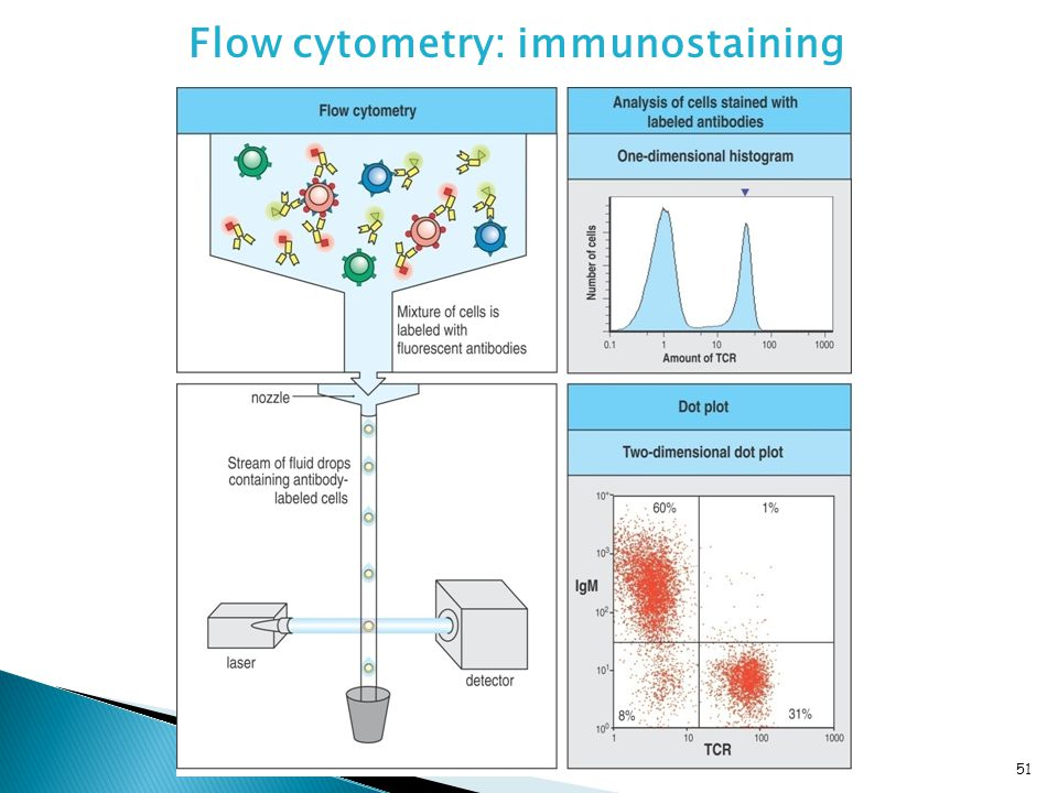 Flow cytometry: immunostaining 51