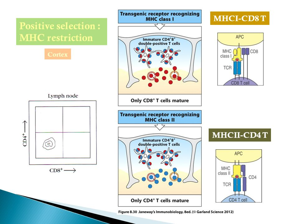 Positive selection : MHC restriction MHCI-CD8 T Cortex MHCII-CD4 T