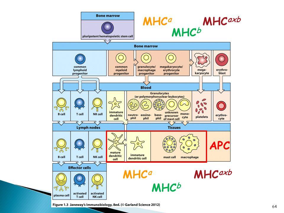 Hematopoiesis MHC a MHC b MHC axb APC 64