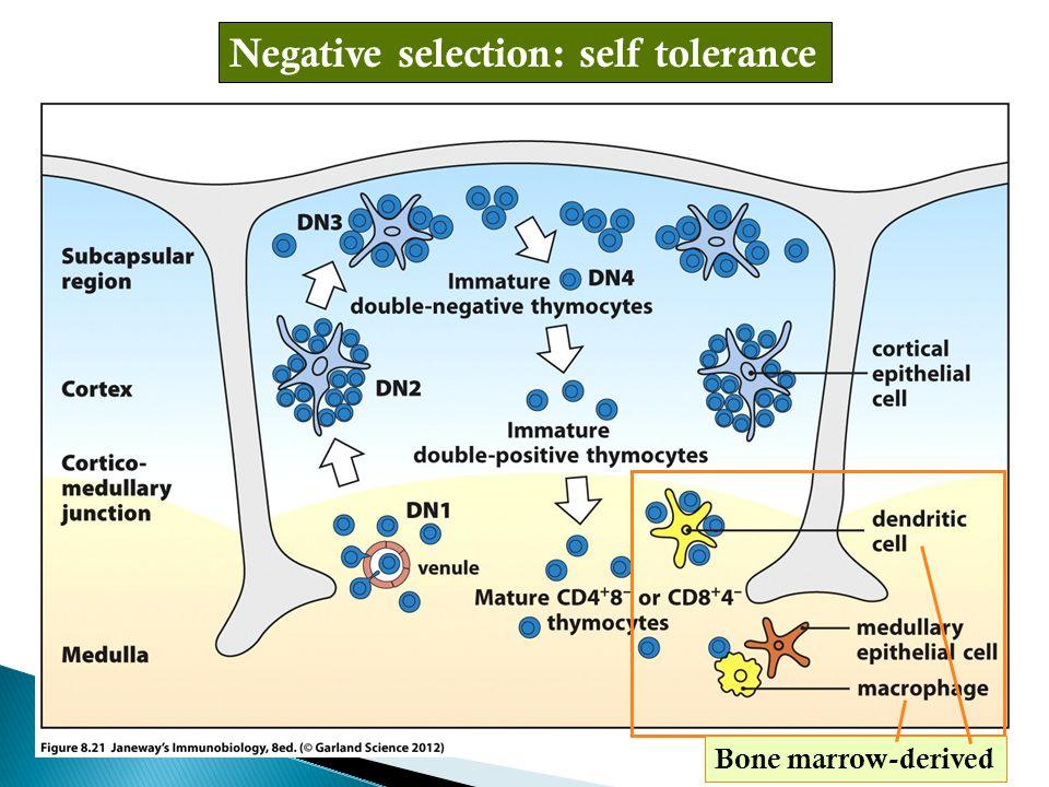 Negative selection: self tolerance Bone marrow-derived
