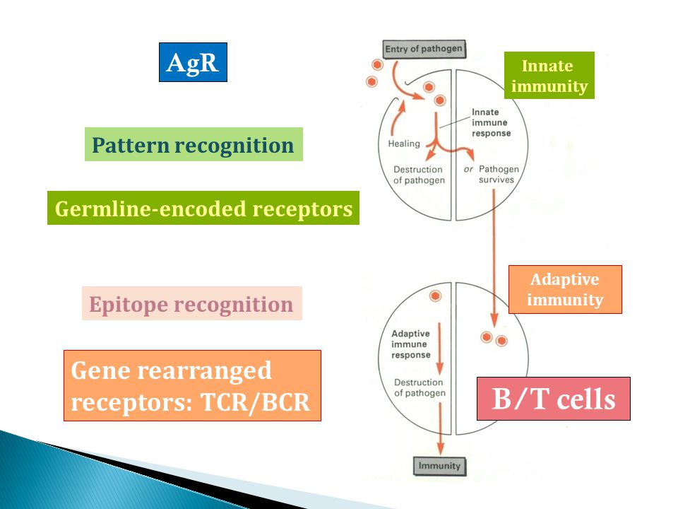 Germline-encoded receptors Gene rearranged receptors: TCR/BCR Innate immunity Adaptive immunity B/T cells Pattern recognition Epitope recognition AgR