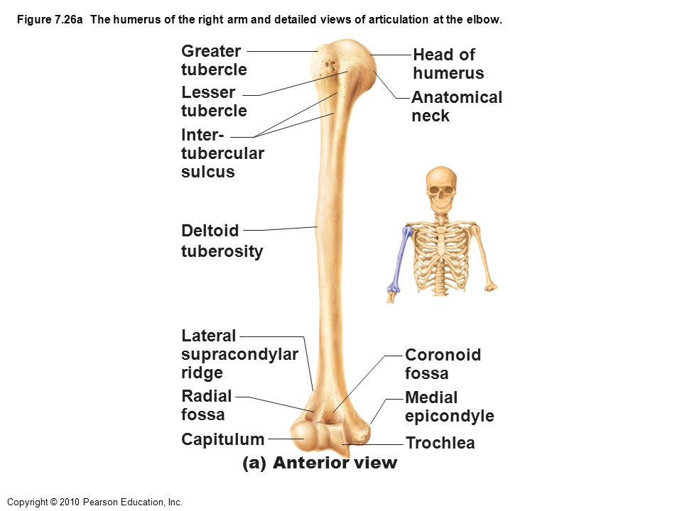 Copyright © 2010 Pearson Education, Inc. Figure 7.26a The humerus of the right arm and detailed views of articulation at the elbow. Greater tubercle L