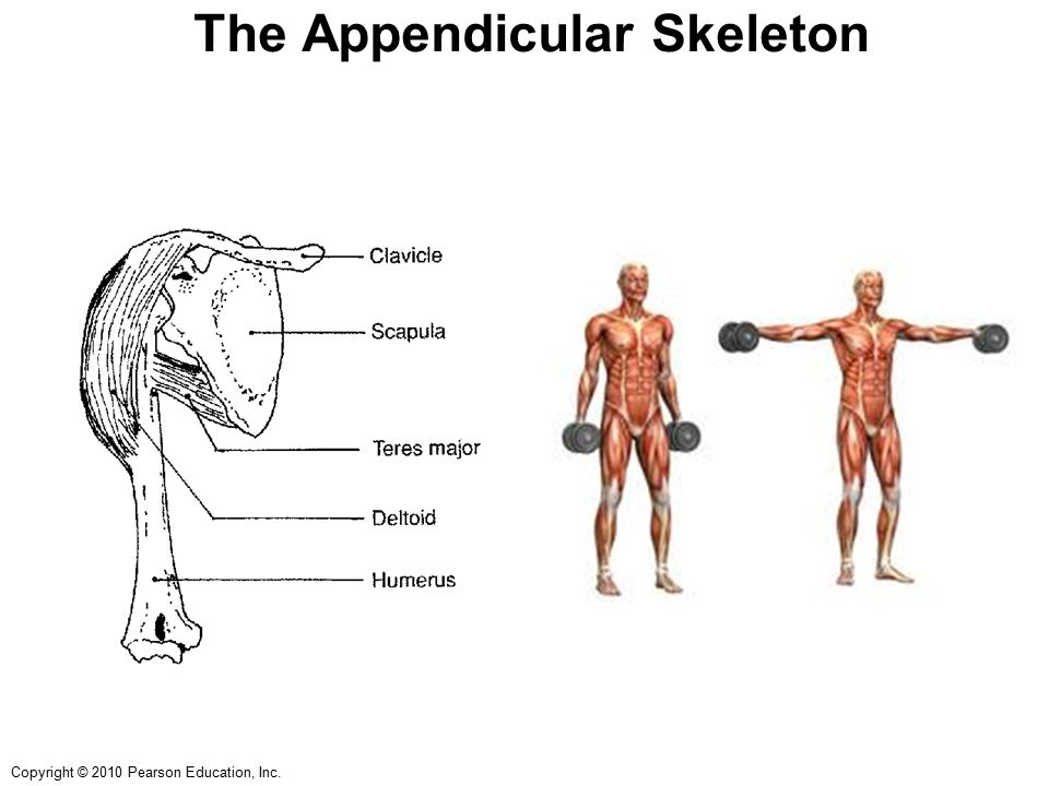 Copyright © 2010 Pearson Education, Inc. The Appendicular Skeleton