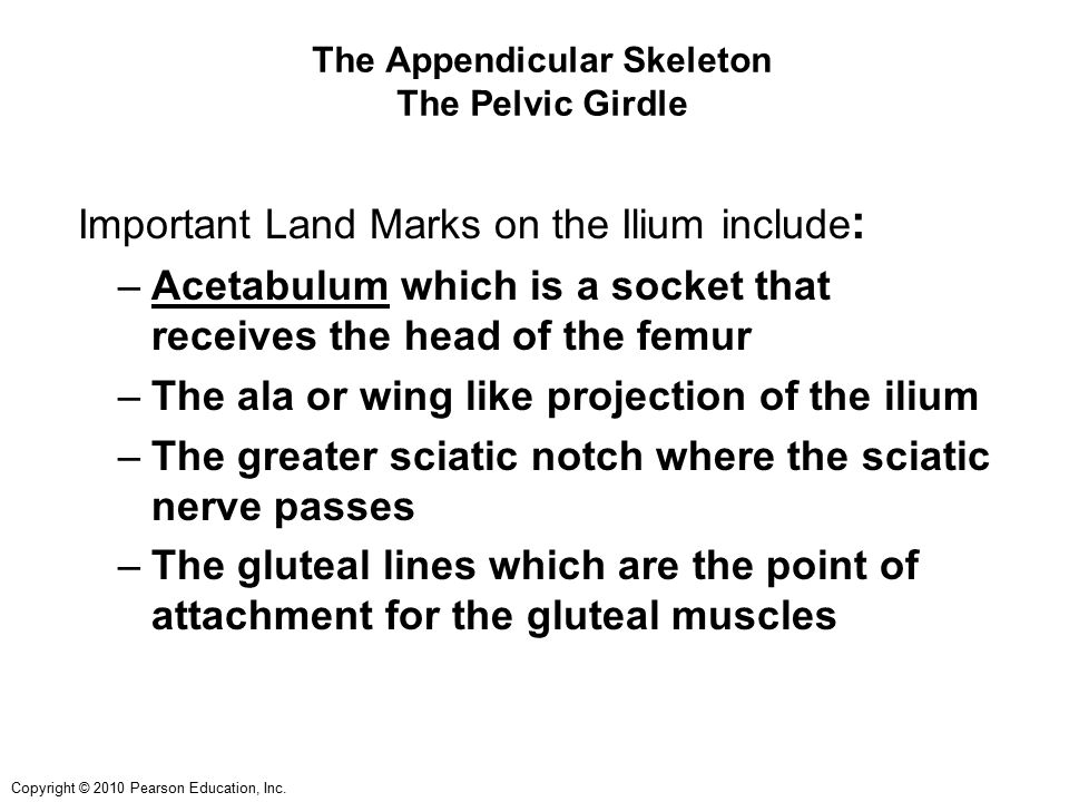 Copyright © 2010 Pearson Education, Inc. The Appendicular Skeleton The Pelvic Girdle Important Land Marks on the Ilium include : –Acetabulum which is