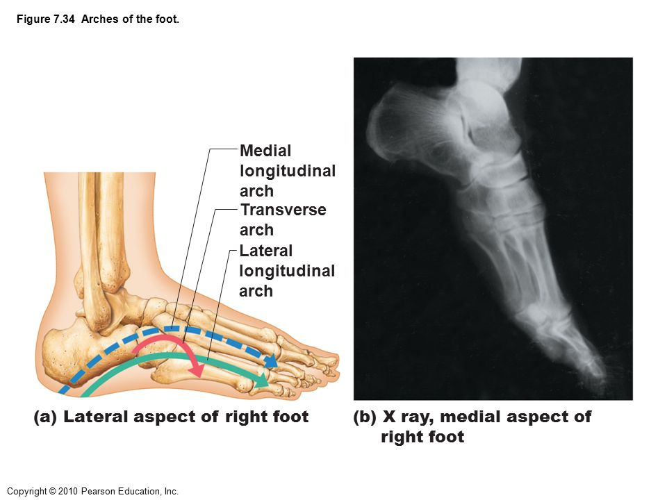 Copyright © 2010 Pearson Education, Inc. Figure 7.34 Arches of the foot. Medial longitudinal arch Transverse arch Lateral longitudinal arch (a) Latera