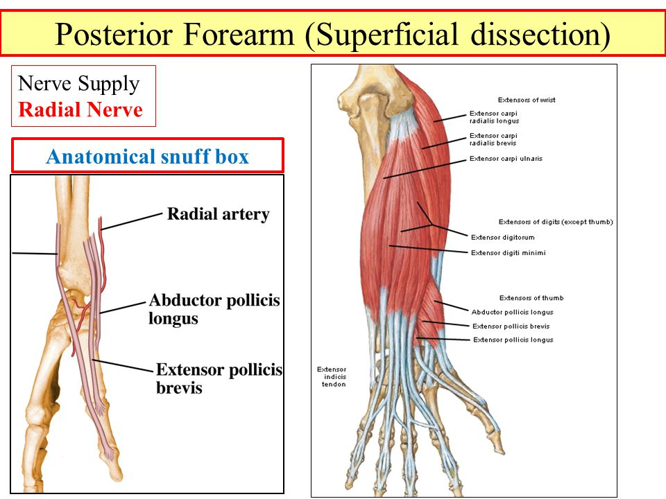Posterior Forearm (Superficial dissection) Nerve Supply Radial Nerve Anatomical snuff box
