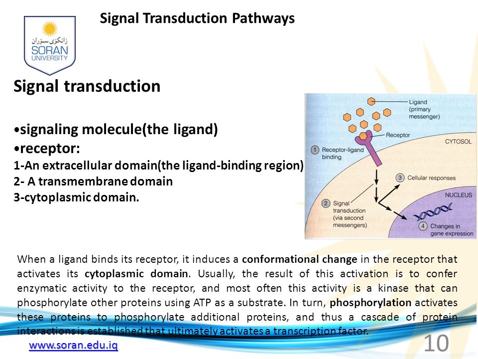 www.soran.edu.iq Signal Transduction Pathways Signal transduction signaling molecule(the ligand) receptor: 1-An extracellular domain(the ligand-binding region) 2- A transmembrane domain 3-cytoplasmic domain.
