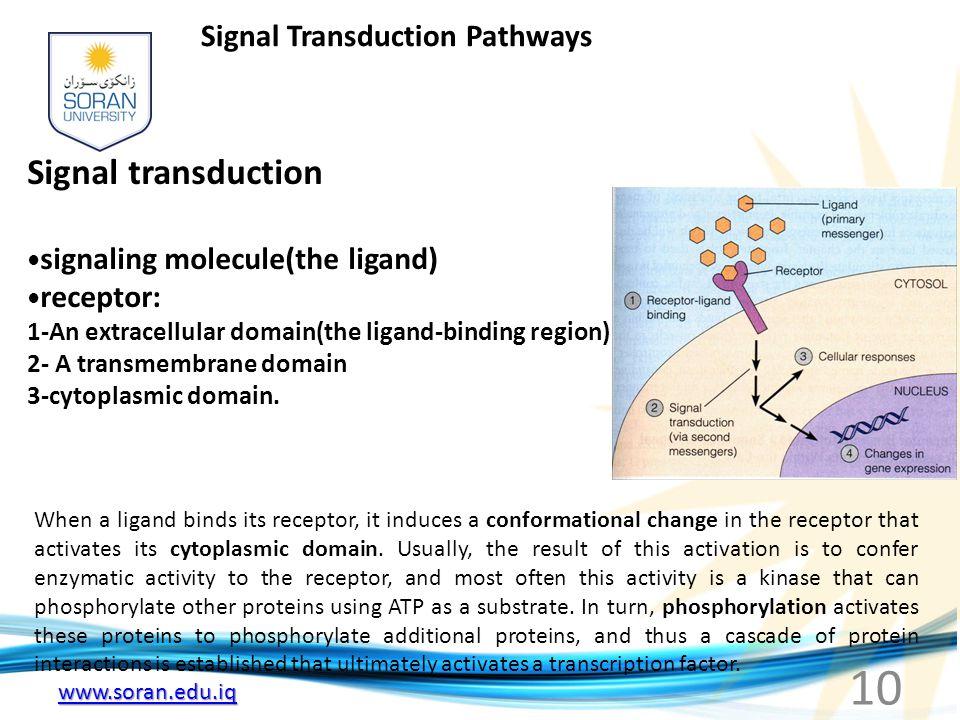 www.soran.edu.iq Signal Transduction Pathways Signal transduction signaling molecule(the ligand) receptor: 1-An extracellular domain(the ligand-bindin