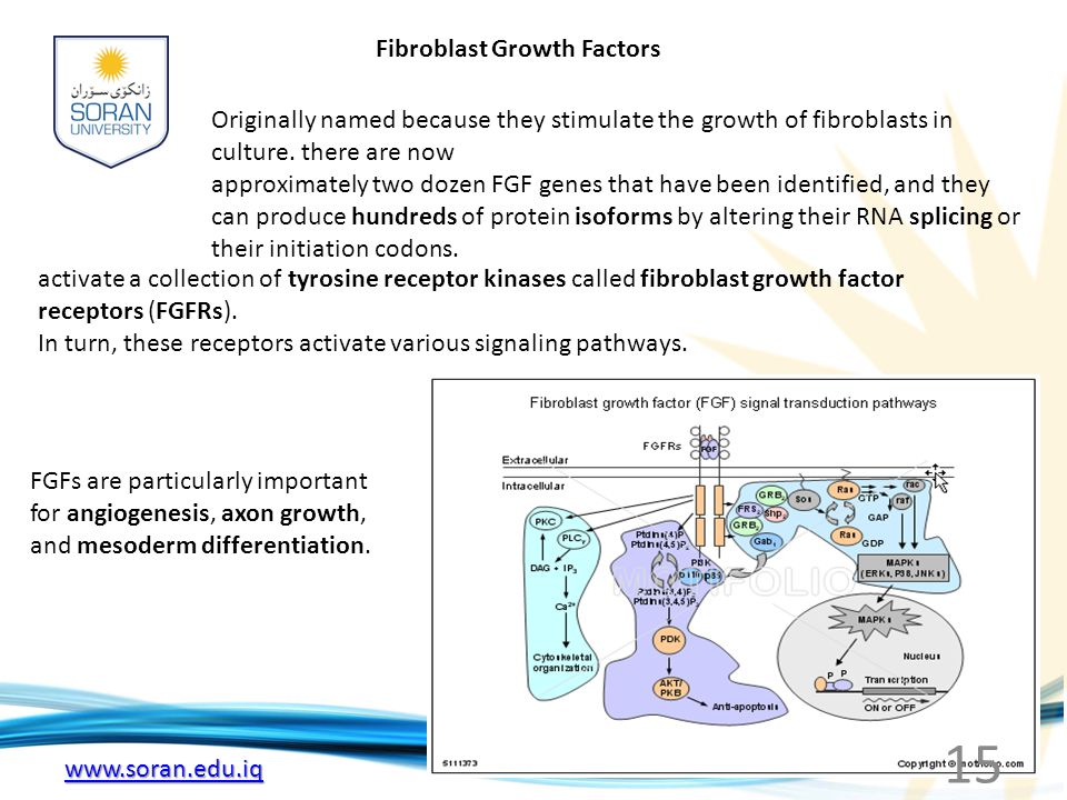 www.soran.edu.iq Fibroblast Growth Factors Originally named because they stimulate the growth of fibroblasts in culture.