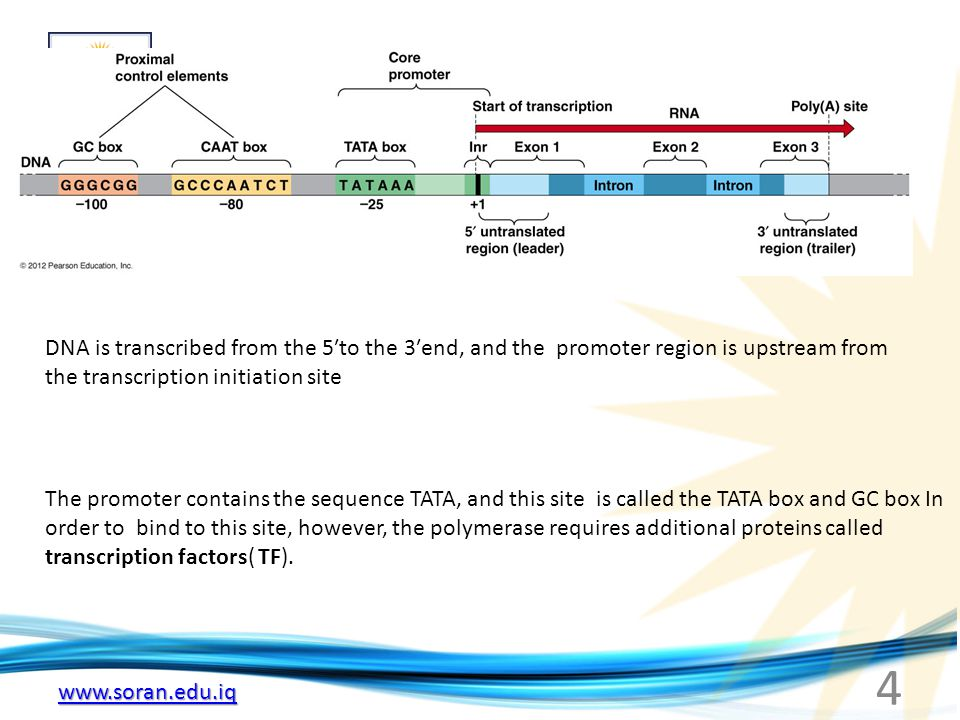 www.soran.edu.iq DNA is transcribed from the 5′to the 3′end, and the promoter region is upstream from the transcription initiation site The promoter contains the sequence TATA, and this site is called the TATA box and GC box In order to bind to this site, however, the polymerase requires additional proteins called transcription factors( TF).