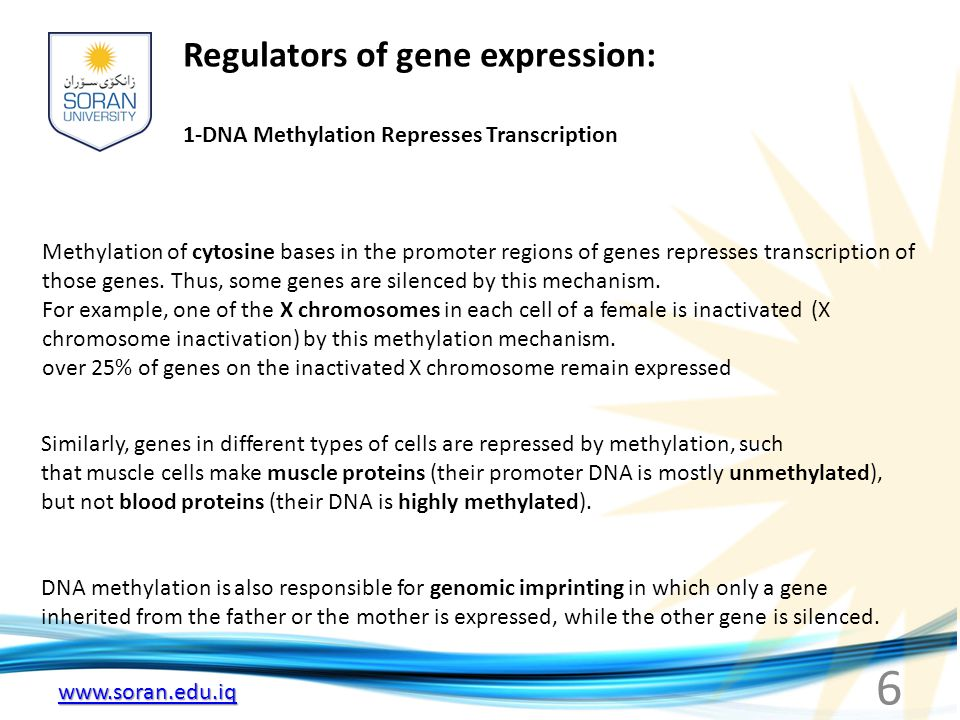 www.soran.edu.iq 1-DNA Methylation Represses Transcription Methylation of cytosine bases in the promoter regions of genes represses transcription of t