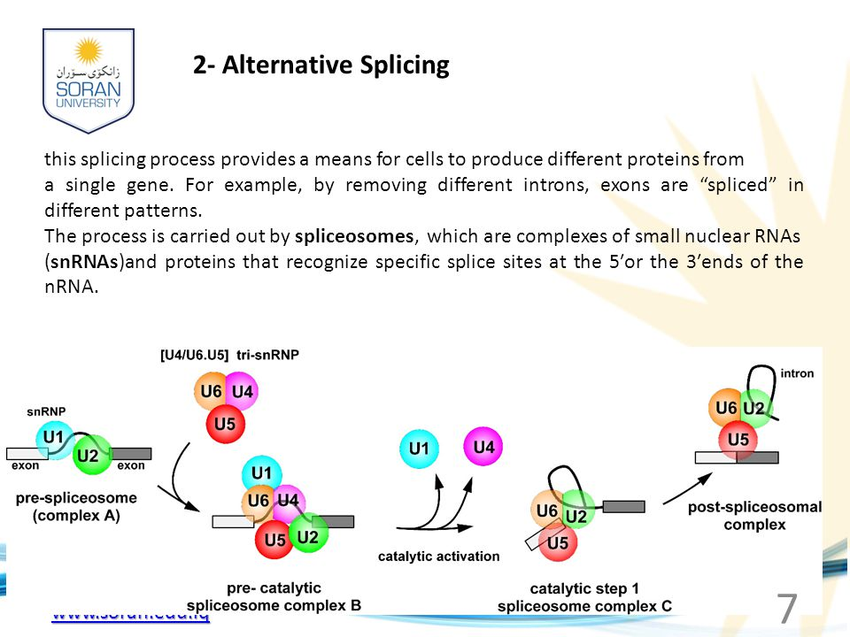 www.soran.edu.iq 2- Alternative Splicing this splicing process provides a means for cells to produce different proteins from a single gene. For exampl
