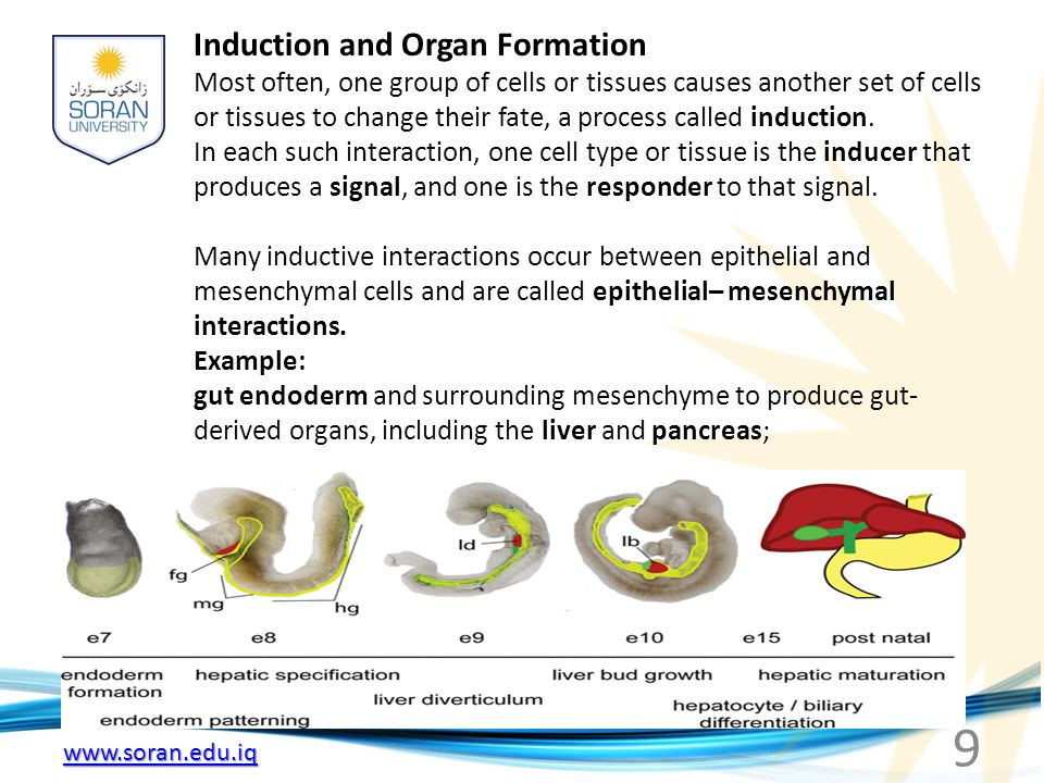 www.soran.edu.iq Induction and Organ Formation Most often, one group of cells or tissues causes another set of cells or tissues to change their fate,