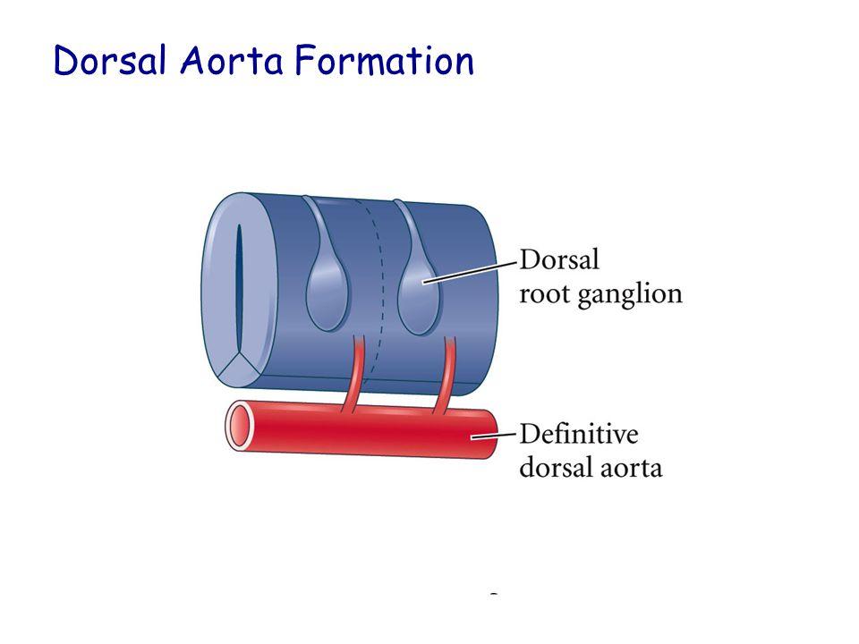 Dorsal Aorta Formation