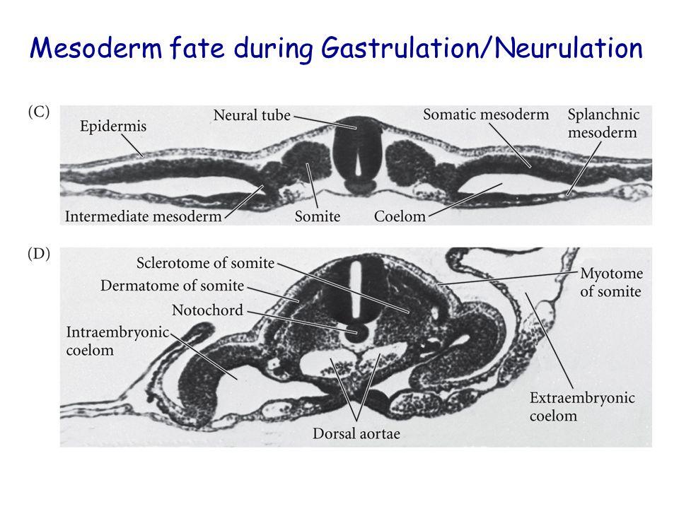 Mesoderm fate during Gastrulation/Neurulation