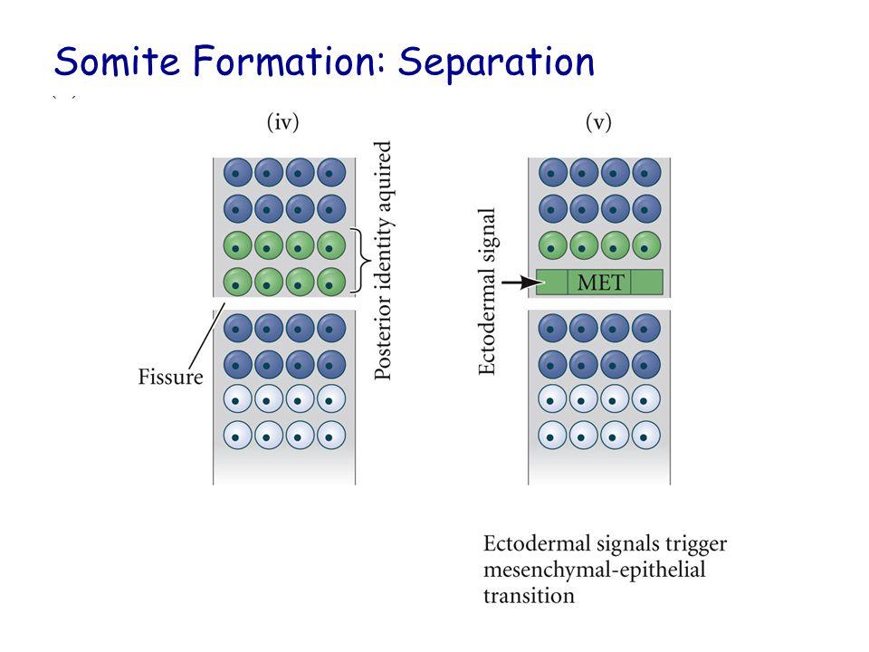 Somite Formation: Separation
