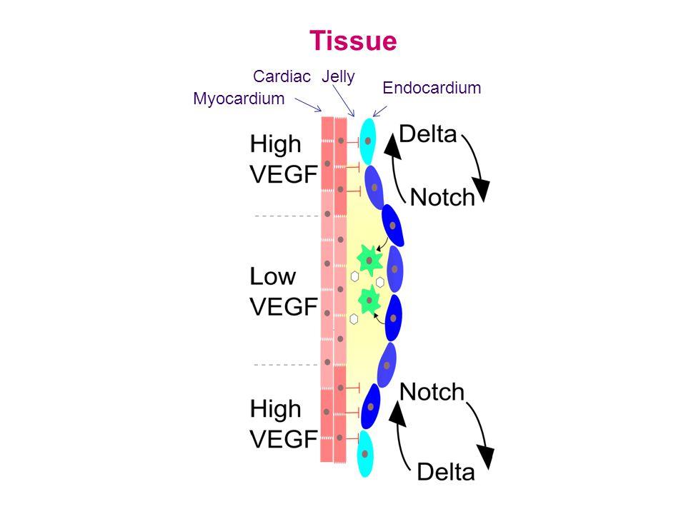 Tissue Myocardium Endocardium Cardiac Jelly