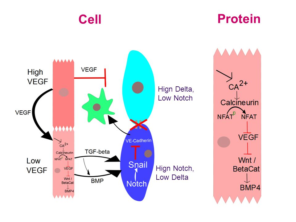 Protein Cell Hign Notch, Low Delta Hign Delta, Low Notch