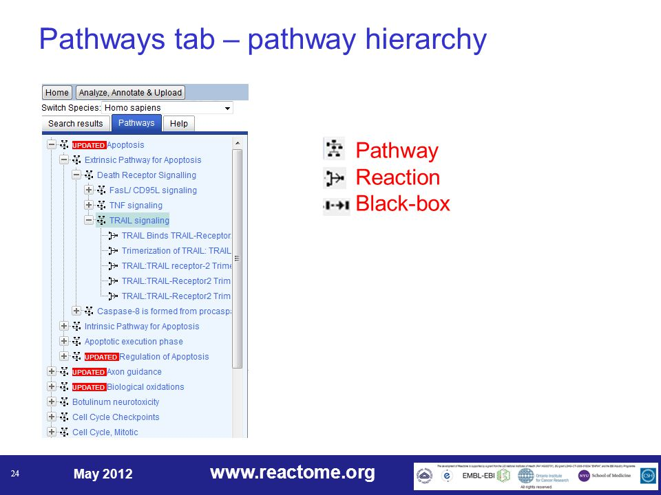 www.reactome.org May 2012 24 Pathways tab – pathway hierarchy Pathway Reaction Black-box