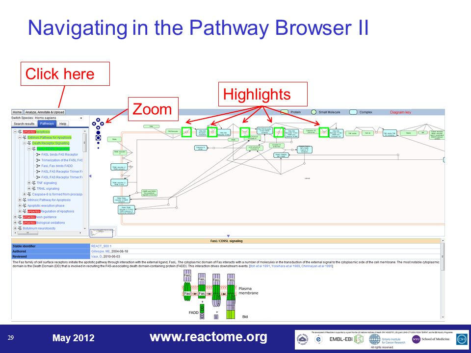 www.reactome.org May 2012 29 Details here Navigating in the Pathway Browser II Click hereZoomHighlights