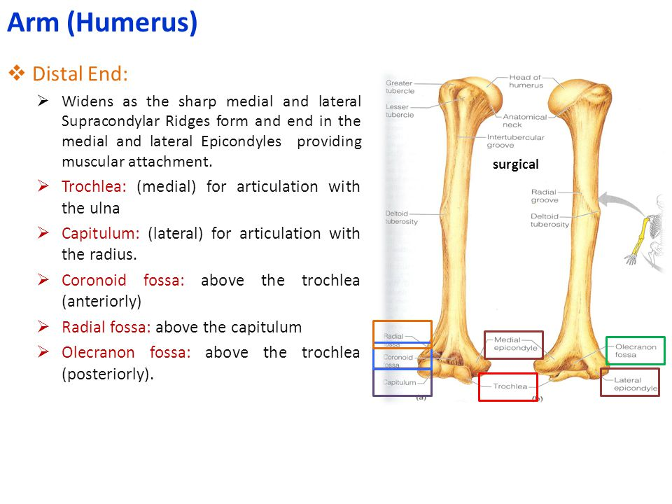  Distal End:  Widens as the sharp medial and lateral Supracondylar Ridges form and end in the medial and lateral Epicondyles providing muscular atta