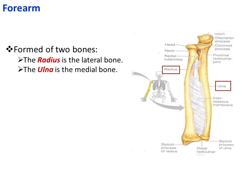 Forearm  Formed of two bones:  The Radius is the lateral bone.  The Ulna is the medial bone.