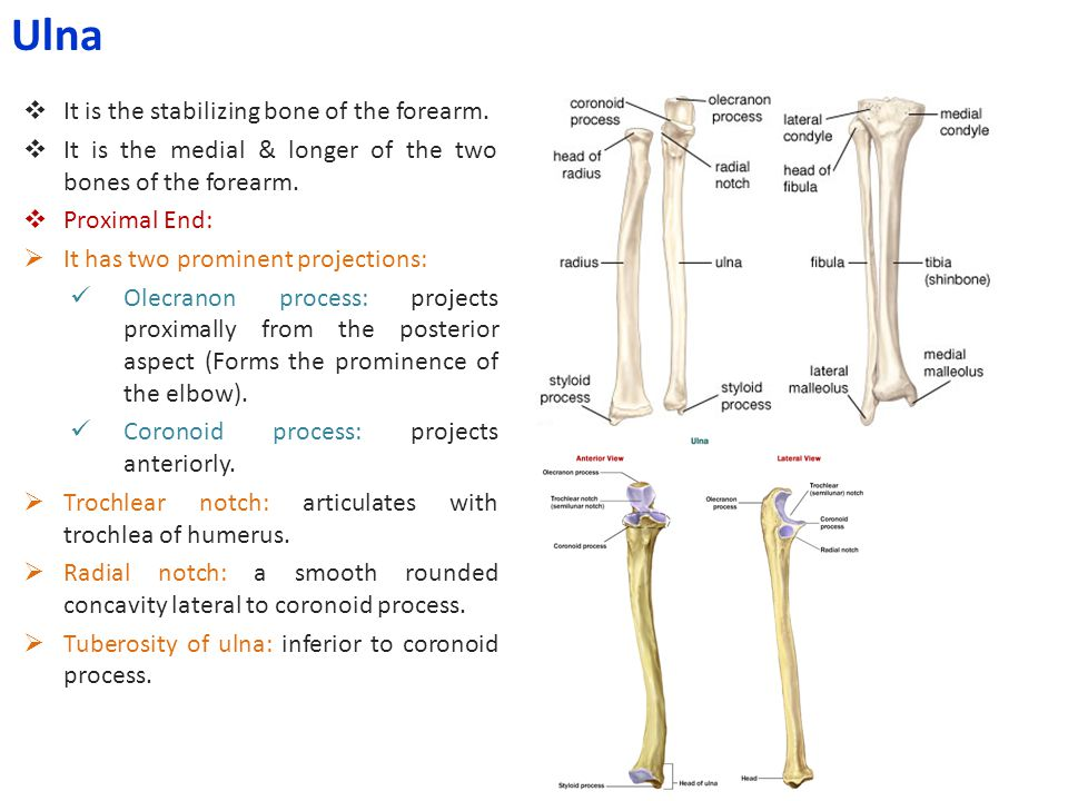  It is the stabilizing bone of the forearm.  It is the medial & longer of the two bones of the forearm.  Proximal End:  It has two prominent proje