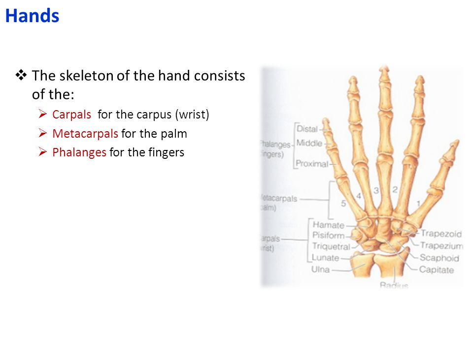  The skeleton of the hand consists of the:  Carpals for the carpus (wrist)  Metacarpals for the palm  Phalanges for the fingers Hands