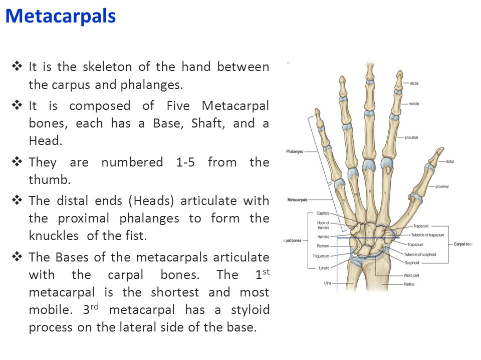  It is the skeleton of the hand between the carpus and phalanges.  It is composed of Five Metacarpal bones, each has a Base, Shaft, and a Head.  Th