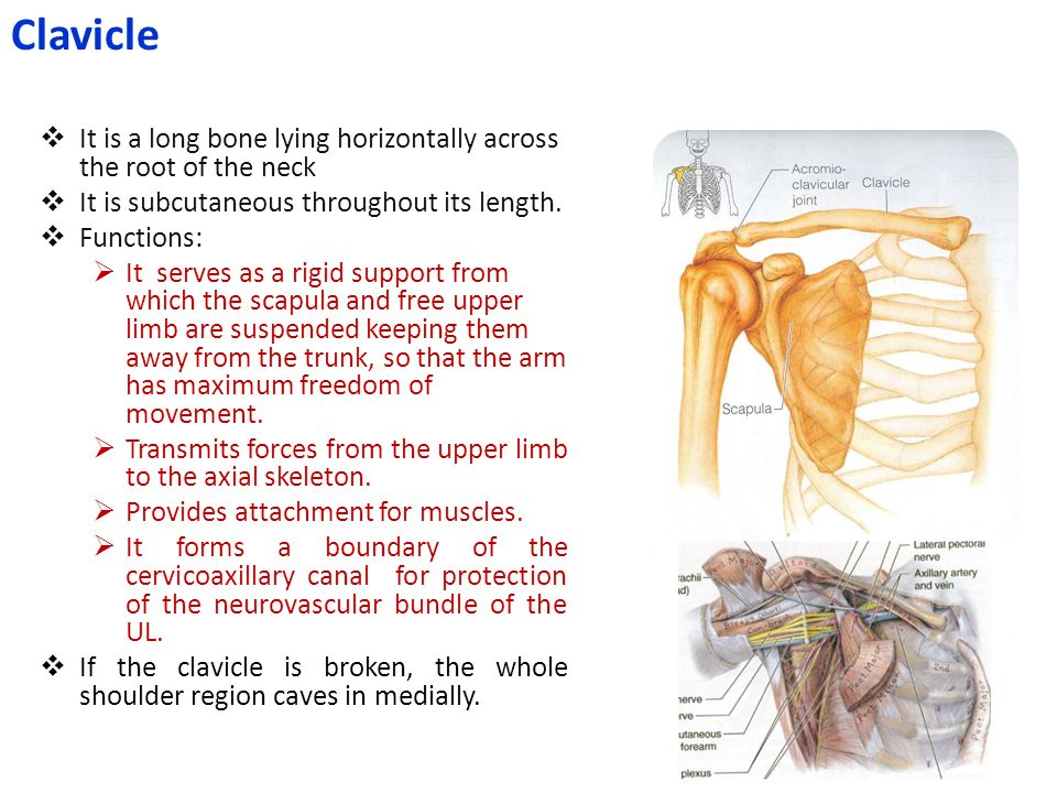  It is a long bone lying horizontally across the root of the neck  It is subcutaneous throughout its length.  Functions:  It serves as a rigid sup