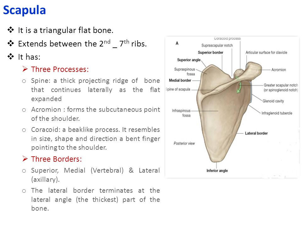  It is a triangular flat bone.  Extends between the 2 nd _ 7 th ribs.  It has:  Three Processes: o Spine: a thick projecting ridge of bone that co