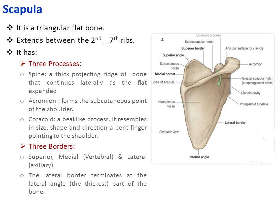  Bases of the Metacarpal bones articulate with the distal row of the carpal bones  Carpometacarpal joints  Heads (knuckles) articulate with the Proximal Phalanges  Metacarpophalangeal joints  The phalanges articulate with each other  Interphalangeal joints  Distal end of Radius with the Proximal Raw of Carpal bones  Wrist joint Articulations