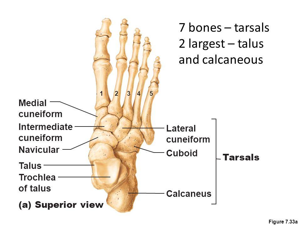 Figure 7.33a Metatarsals 54321 5 small bones 1-5, big toe - #1